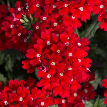 Verbena Enchantment Red